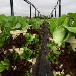 Hydroponic lettuce, harvested for salad!